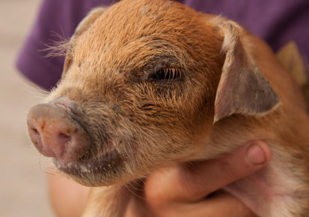 Pond Hill pig
