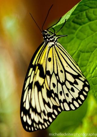 Butterflies again 1