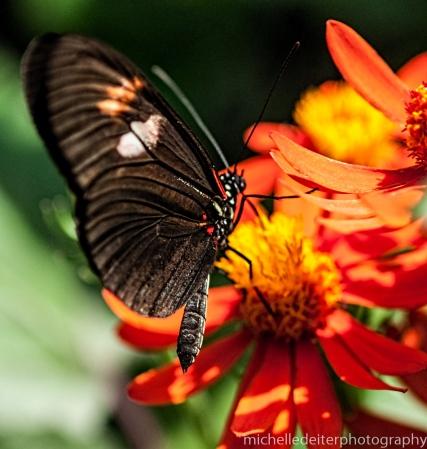 Butterflies again-2