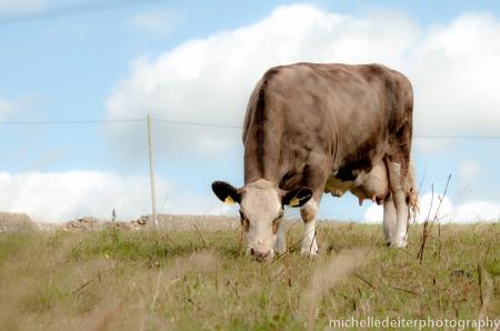 Ireland-cow